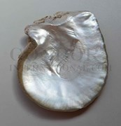 1pc Mother of Pearl shells natural