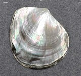 1pc Black Mother of Pearl shell polished