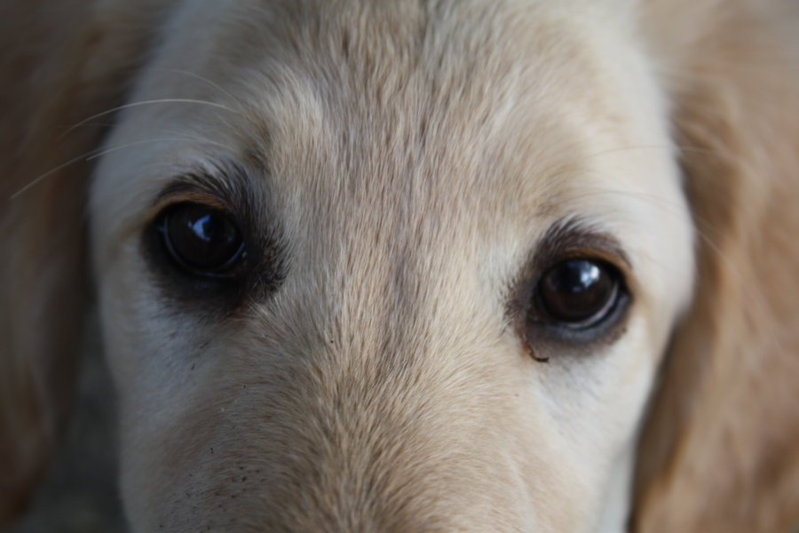 What Is Your Dog Telling You With Its Eyes