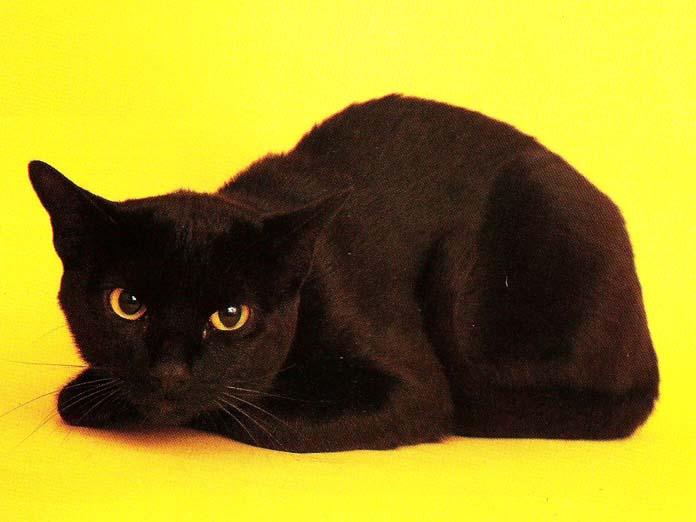 Your Very Own Miniature Panther The Bombay