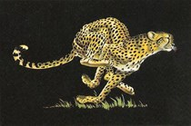 Cheetah on black velvet