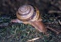 Pale Banded Snail