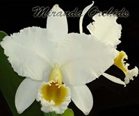 Cattleya percivaliana alba x self - RESTOCK
