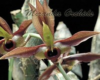 Multi CD - 1 (Catasetum, Cattleya, Laelia)