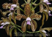 Cattleya guttata coerulea x sib select - NEW