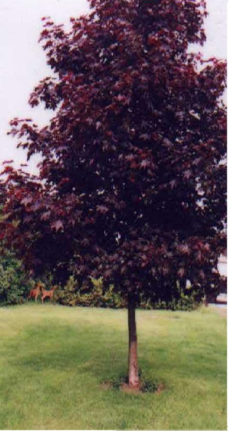 Acer Platanoides Norway Maple Tree Crimson King Maple Tree - Norway maple uses