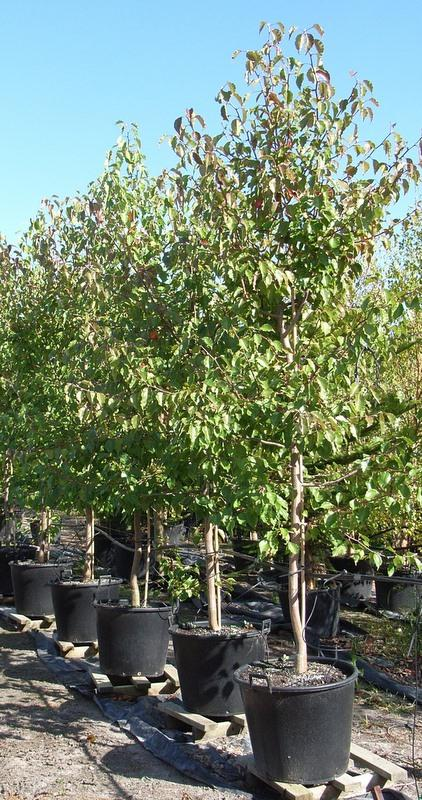 Mature Trees For Sale Melbourne