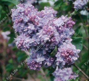 Katherine havemeyer lilac