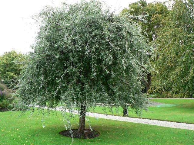 Pyrus salicifolia 39 pendula 39 blerick trees buy online for Weeping trees for small gardens