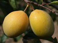 Prunus domestica - Coe's Golden Drop Plum