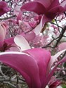 Magnolia liliiflora veitchii - Royal Crown