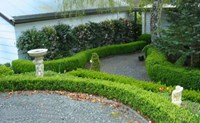 Buxus sempervirens - English Box
