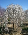 Prunus snofozam - Snow Fountain Weeping Cherry