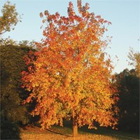 Acer negundo Box Elder - Sensation Maple Tree