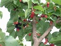 Morus rubra Mulberry - Hicks Fancy Red Mulberry