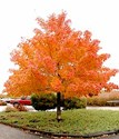 Acer truncatum platanoides Warrenred Pacific Sunset Norway Maple Tree