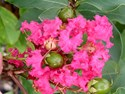 Lagerstroemia - Indian Summer Crepe Myrtle Tuscarora Crepe Myrtle (Hot Pink)