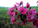 Malus purpurea - Aldenhamensis Crab Apple