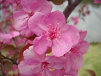 Malus hupehensis - Strawberry Parfait - Crab Apple