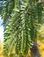 Gleditsia triacanthos inermis - Shade Master - Honey Locust Tree