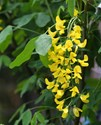 Laburnum x watereri - Vossii  Golden Chain Tree