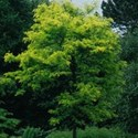 Gleditsia triacanthos inermis - Speczam Spectrum - Honey Locust Tree