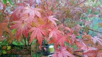 Acer palmatum - Polymorphum Japanese Maple Tree