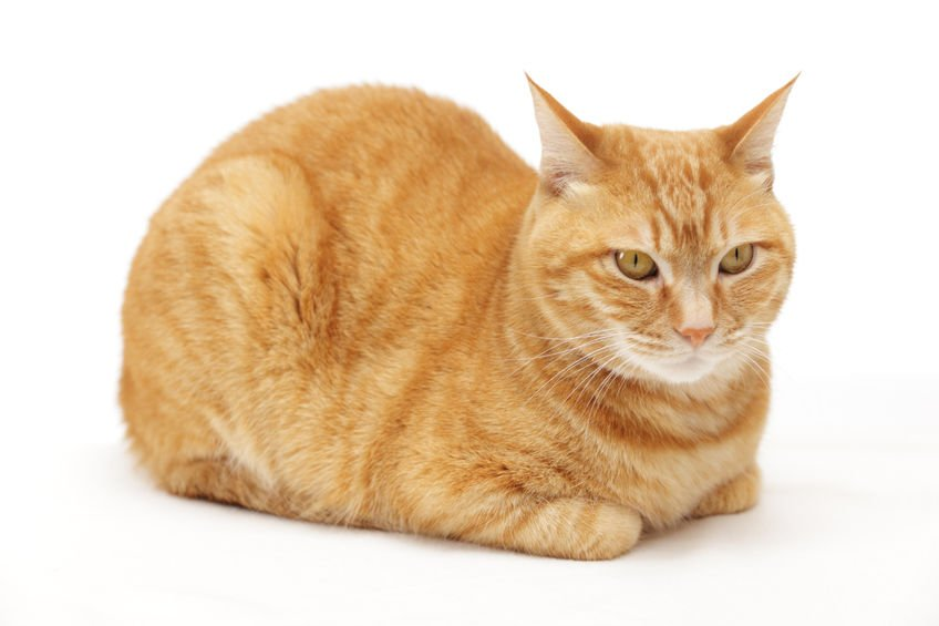 """Here's why your cat sits like a """"cat loaf"""""""