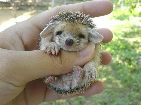 How To Care For African Pygmy Hedgehogs & To Care For African Pygmy Hedgehogs Aboutintivar.Com
